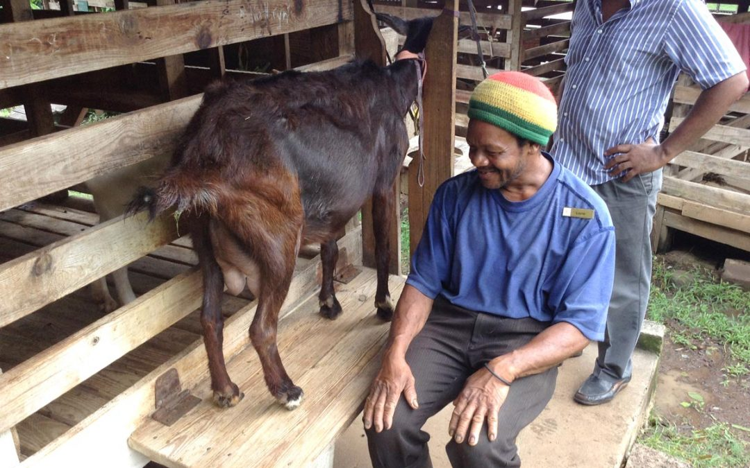 Goats in Paradise • Introducing local dairy goat-production to Dominica. 2020
